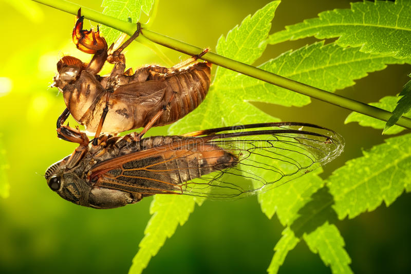 Download Cicala fotografia stock. Immagine di cicala, entomologia - 56892624
