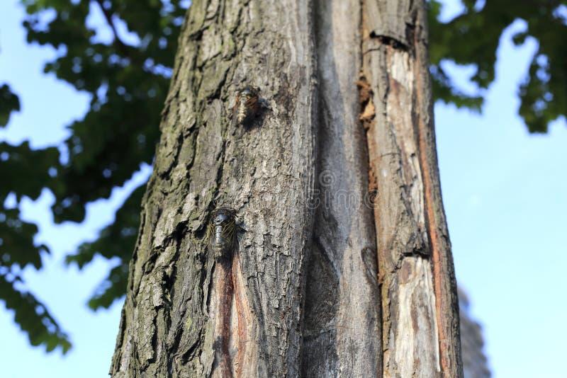 Cicala su un tronco di albero immagini stock