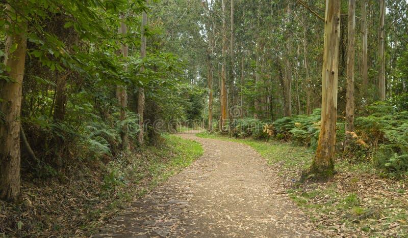 Cicha ścieżka bez ludzi wśród drzew eukaliptusa fotografia royalty free