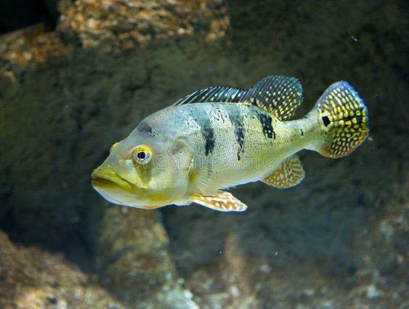 Cichla Azul river fish underwater.  stock photos