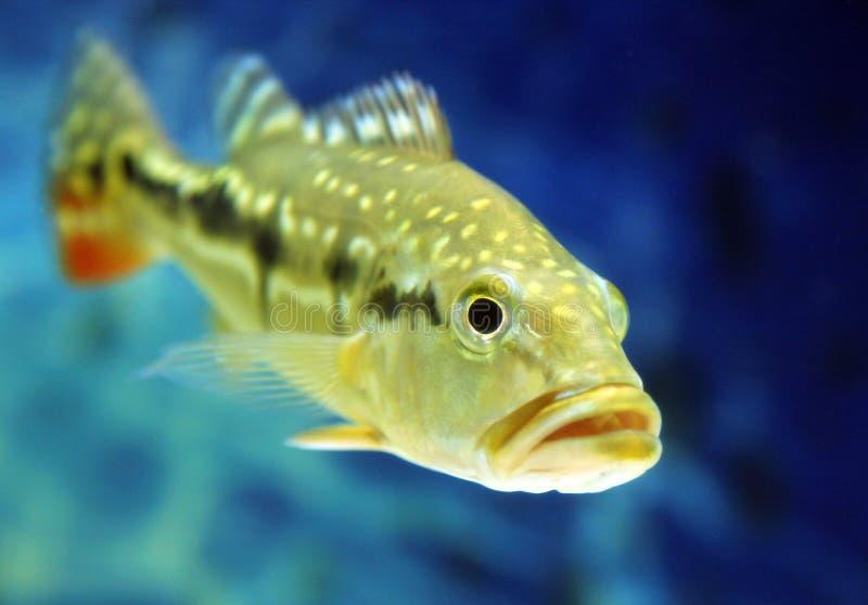 Cichla temensis鱼(有斑点的pavon,有斑点的孔雀低音或者 免版税库存图片