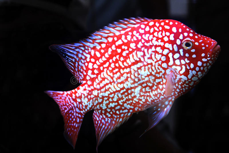 Cichlid. In aquarium thailand is beautiful royalty free stock images