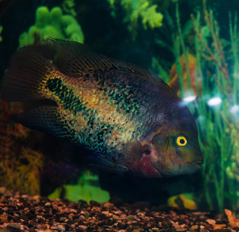 Cichlids royalty free stock image