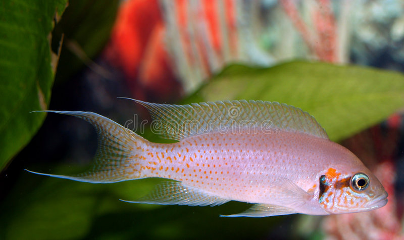 Download Cichlid de Brichardi foto de stock. Imagem de freshwater - 526536