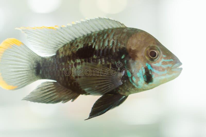 Cichlid de nain de poissons d'aquarium Le nijsseni d'Apistogramma est des espèces des poissons de cichlid, endémiques à l'eau noi photographie stock