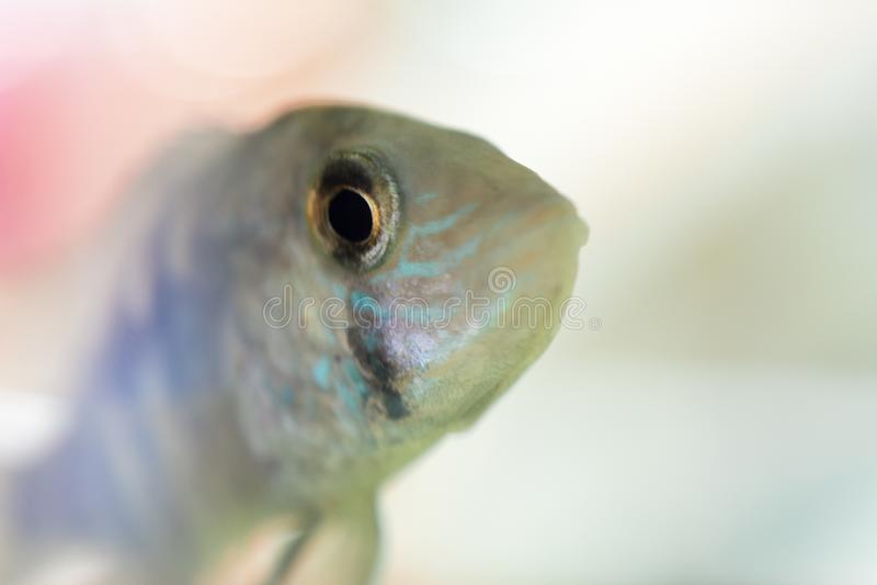 Cichlid de nain de poissons d'aquarium Le nijsseni d'Apistogramma est des espèces des poissons de cichlid, endémiques à l'eau noi photo libre de droits