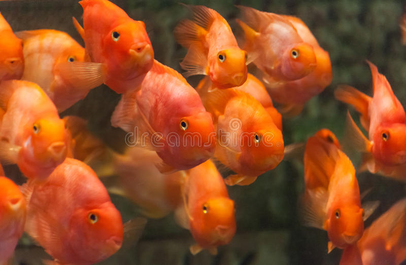 Cichlid de perroquet de sang photo stock