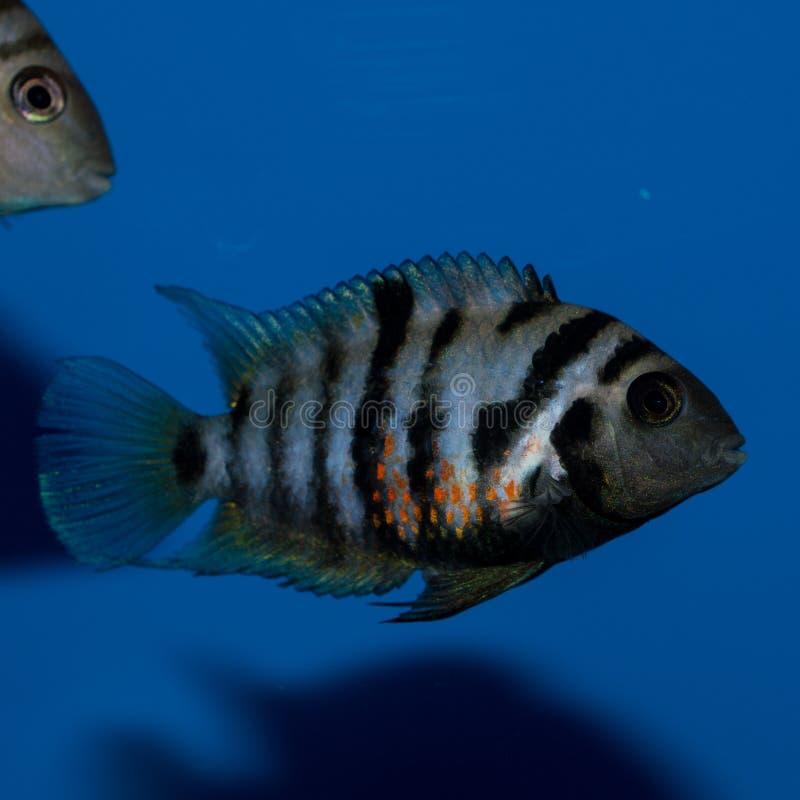 Cichlid femelle de forçat image stock