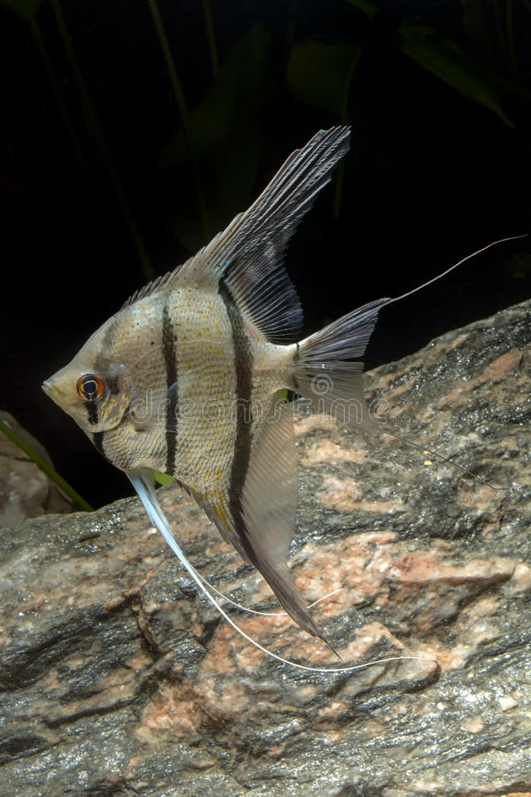 Cichlid fish from genus Pterophyllum stock photography