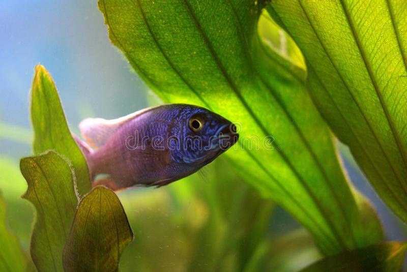 Download Cichlid im Aquarium stockbild. Bild von swim, blätter - 27735585