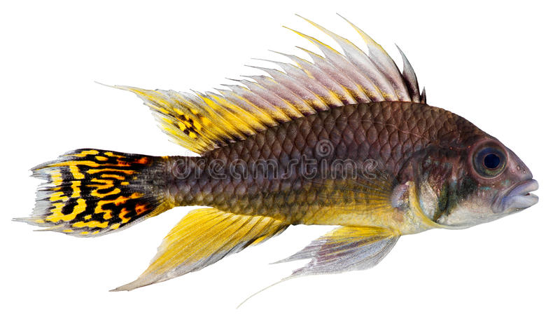cichlid kakadu karła ryba obrazy stock