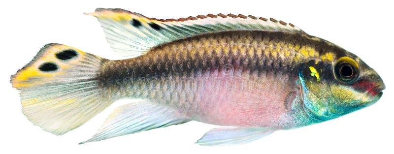 cichlid kribensis ψαριών στοκ εικόνες