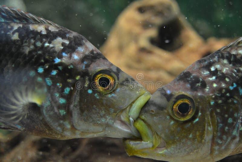 Cichlidae fotos de stock