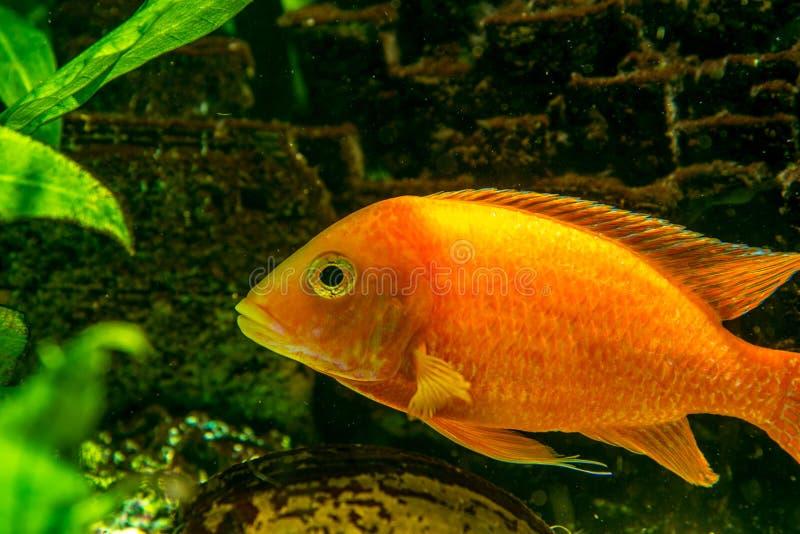 Cichlidae immagine stock