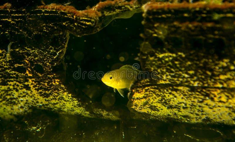 Cichlidae fotografie stock libere da diritti
