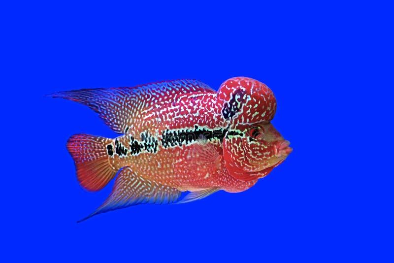 Download Cichlidae De Flowerhorn Ou Peixes Do Cichlasoma Foto de Stock - Imagem de aquático, animal: 65580312
