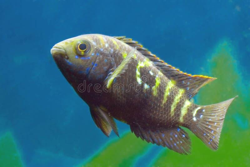 Cichlidae de los pescados del acuario fotografía de archivo libre de regalías