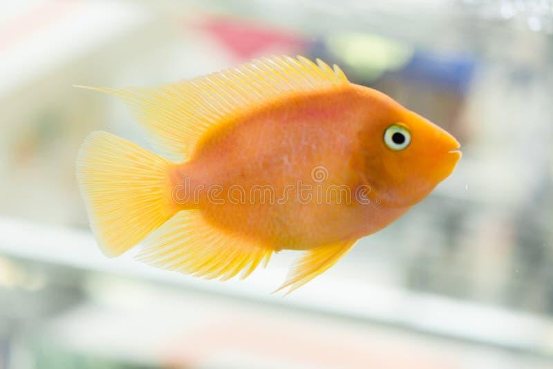 A cichlidae do papagaio do sangue do aquário ou sabido mais comumente e anteriormente como a cichlidae do papagaio é um híbrido p fotografia de stock