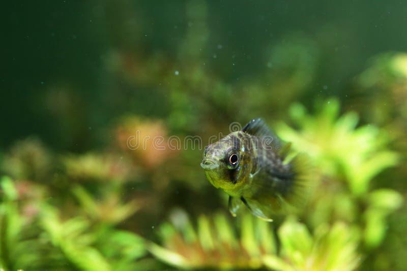 Cichlidae nane gialle fotografie stock