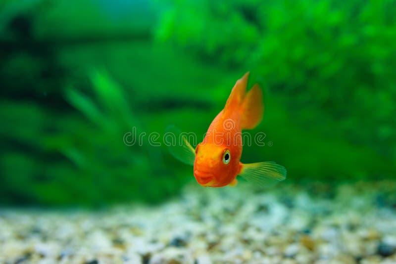 Cichlidae vermelha do papagaio do sangue no fundo do verde da planta do aqu?rio Peixes coloridos alaranjados engra?ados - conceit imagem de stock