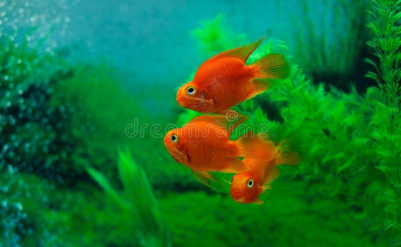 Cichlidae vermelha do papagaio do sangue no fundo do verde da planta do aqu?rio Peixes coloridos alaranjados engra?ados - conceit fotos de stock