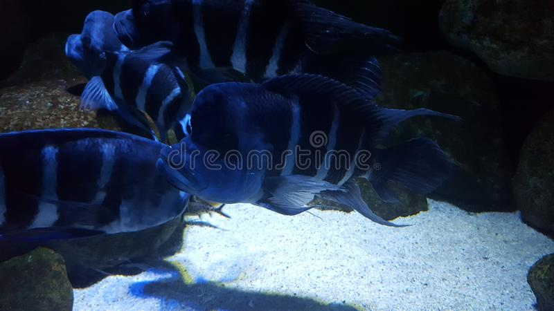 Cichlids photos libres de droits