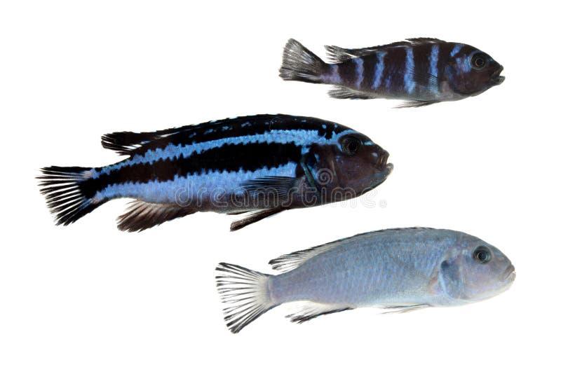 Cichlids bleus d'isolement sur le blanc photos libres de droits
