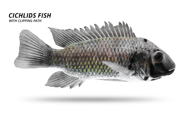 Cichlids fish isolated on white background. Black color and stripe. Clipping path stock illustration