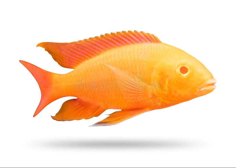 Cichlids fish isolated on white background. Orange color. Clipping path royalty free illustration