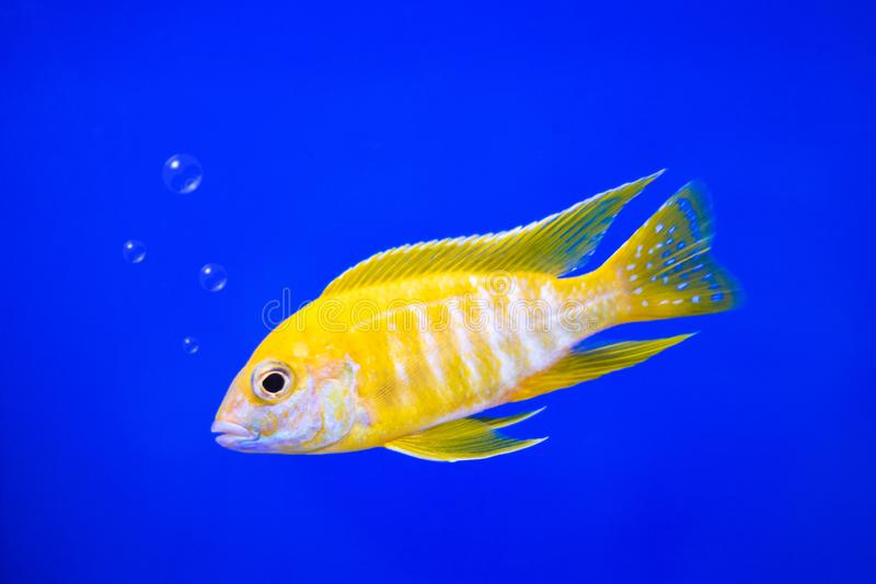 Cichlids fish on underwater background with bubbles. Yellow colors stock images