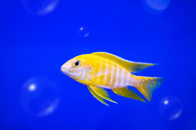 Cichlids fish on underwater background with bubbles. Yellow colors. Fish royalty free stock photo