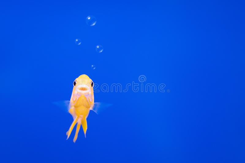 Cichlids fish on underwater background with bubbles. Yellow colors royalty free stock image