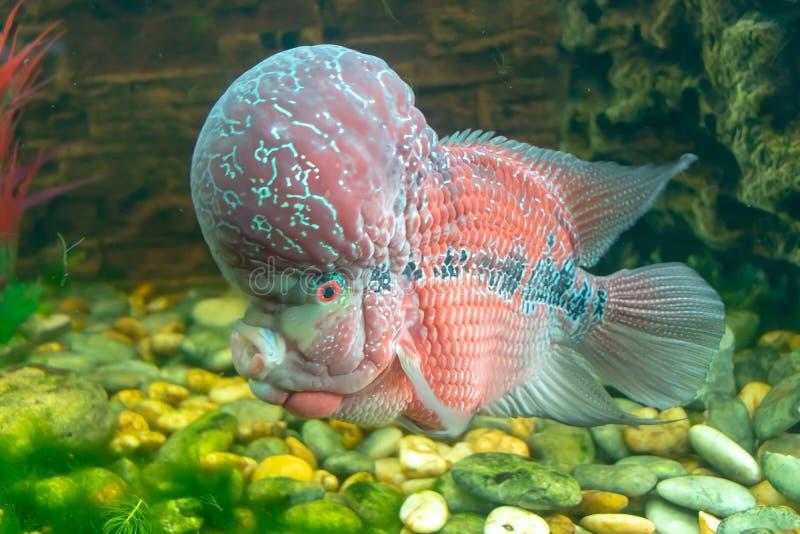 Cichlids rouges dans l'aquarium photos stock