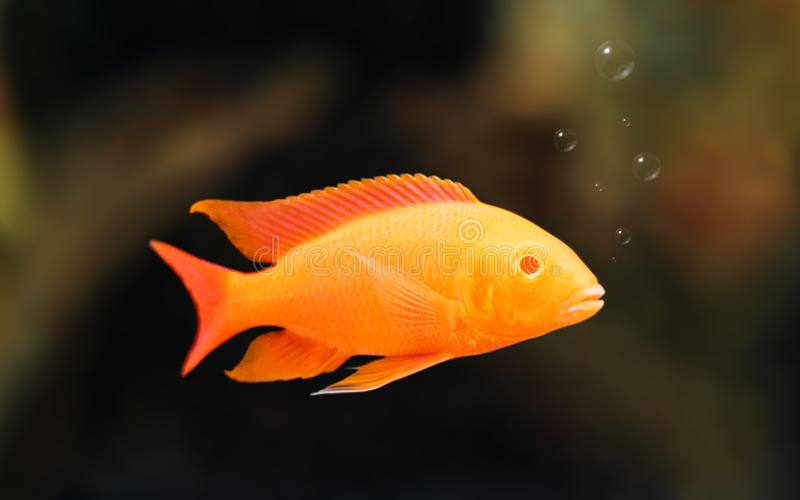 Cichlids swimming in water background with bubbles. Orange color royalty free stock image