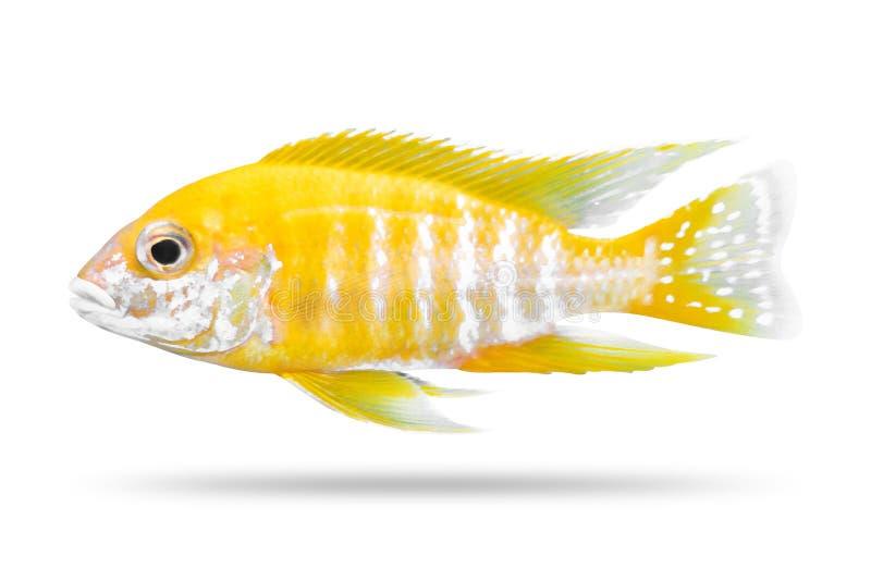 Cichlidsfisk som isoleras p? vit bakgrund Gul f?rg Snabb bana royaltyfri foto