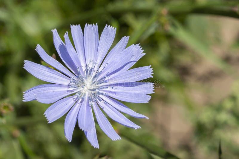 Cichorium cykoriowy kwiat jest zwyczajnym dzikim, gorzkim kawowym smakiem, Błękitni płatki, ciency stamens i pistil, Cykoriowy kw obraz royalty free