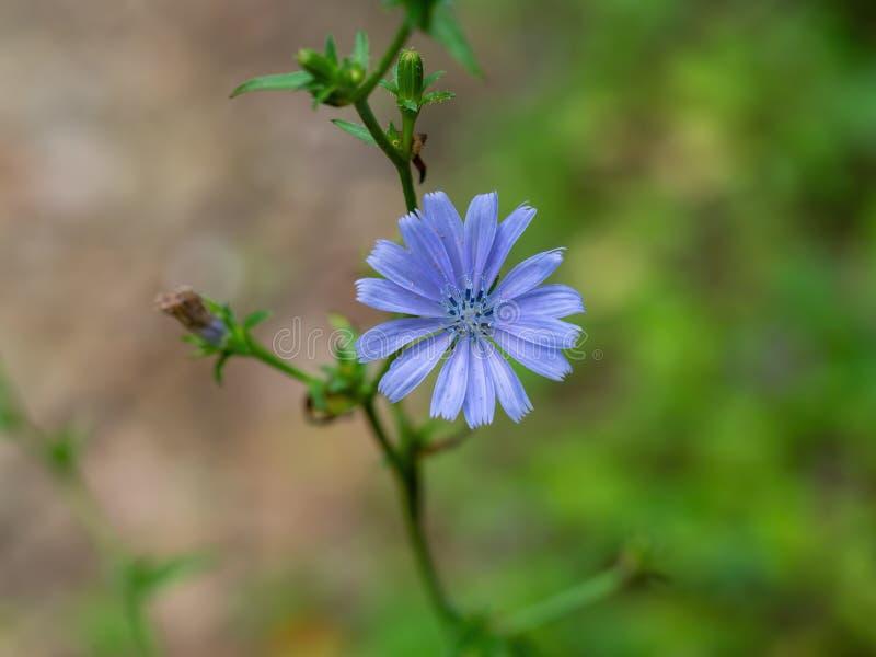 Cichorium intybus - blaue allgemeine Zichorieblume im natürlichen Lebensraum stockfoto