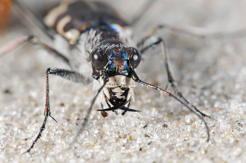 Download Cicindelid beetle on sand stock image. Image of aggressive - 11569753