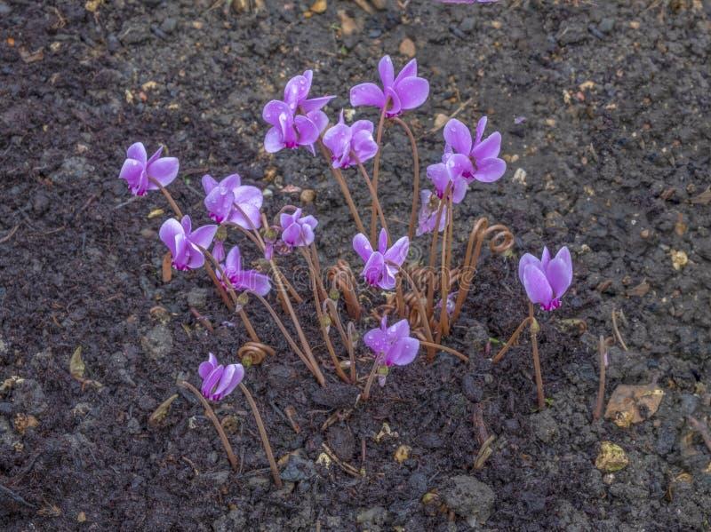 Ciclamen floreciente principios de septiembre fotografía de archivo libre de regalías
