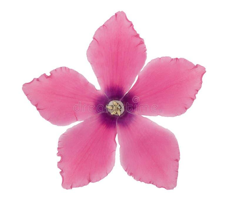 Ciclamen rosado presionado y secado de las flores Aislado en blanco fotografía de archivo libre de regalías