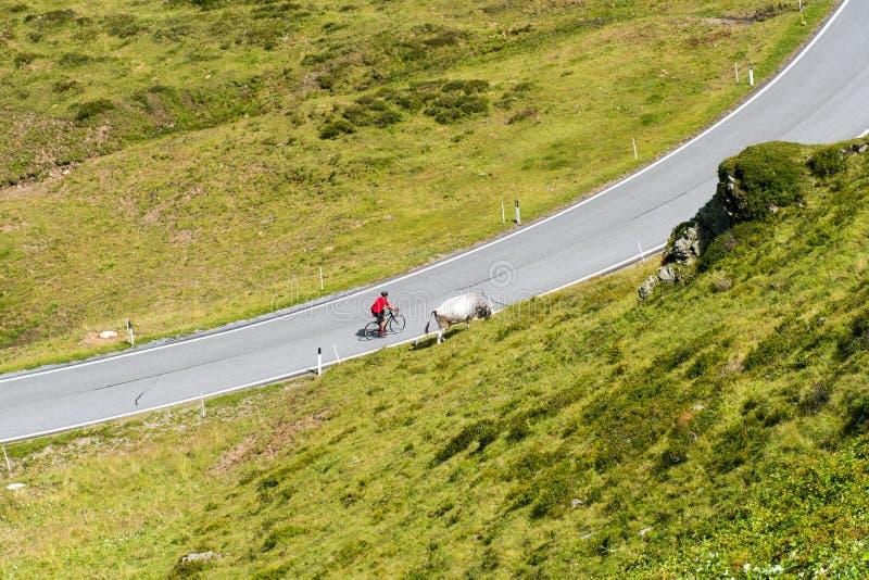 Ciclista com vaca fotografia de stock