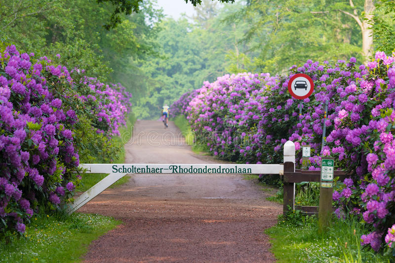 Ciclista na pista do rododendro imagem de stock