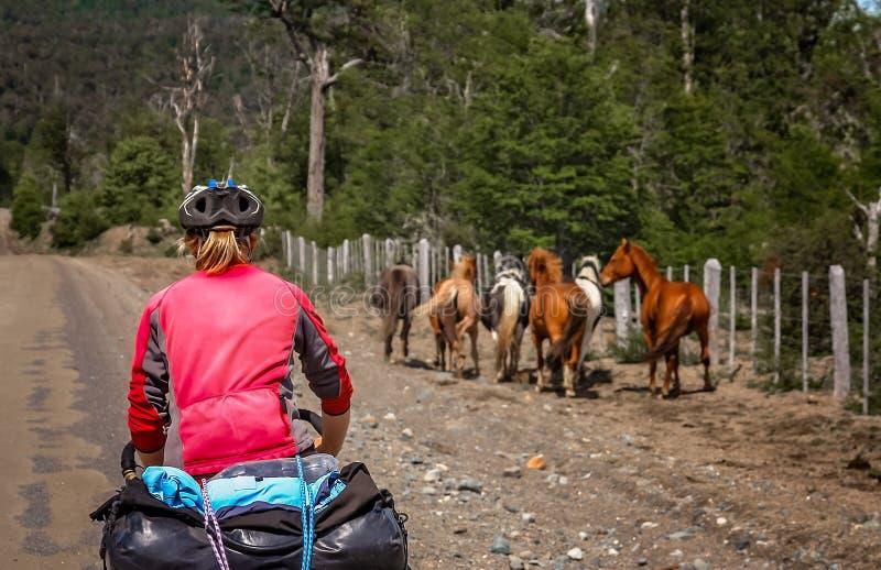 Ciclista que persegue cavalos selvagens fotos de stock royalty free