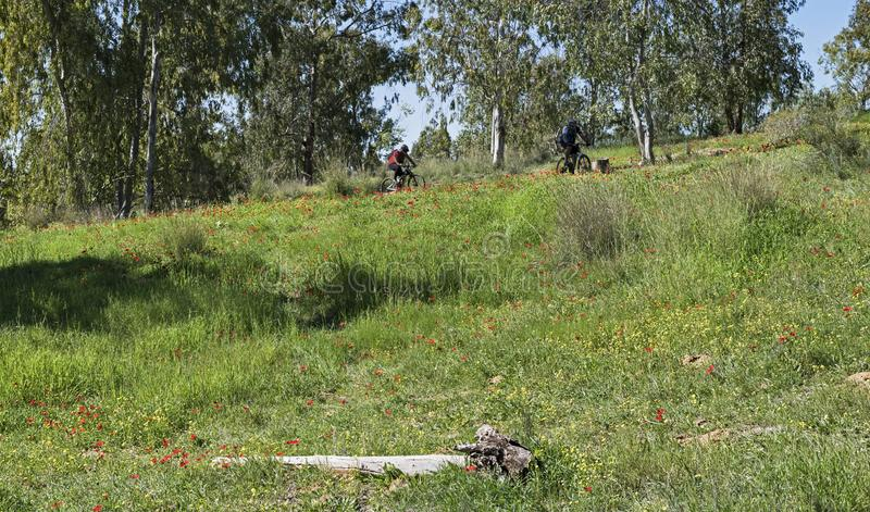 Ciclisti in mountain-bike nei Wildflowers di Negev fotografia stock libera da diritti