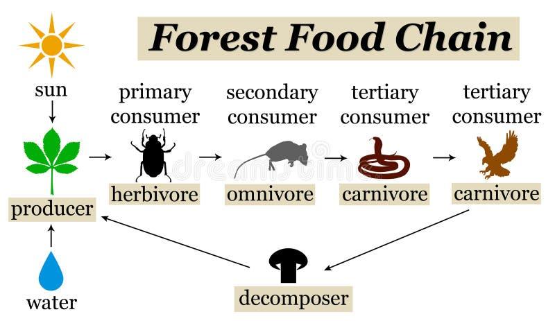 Ciclo alimentare della foresta illustrazione di stock