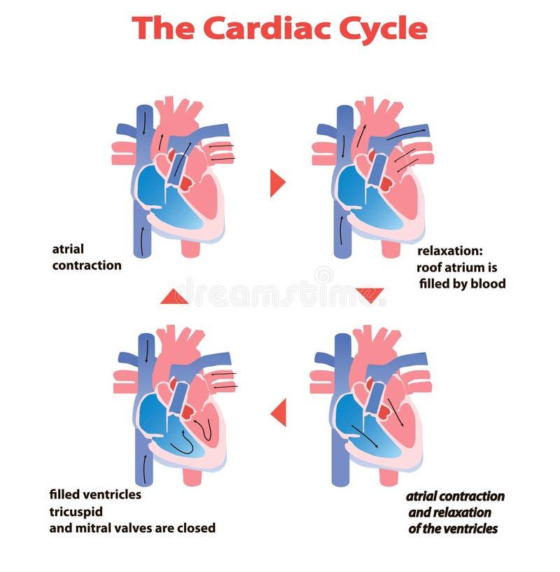 Ciclo cardíaco do coração do coração no fundo branco isolado gráfico da informação da educação do círculo do coração ilustração royalty free