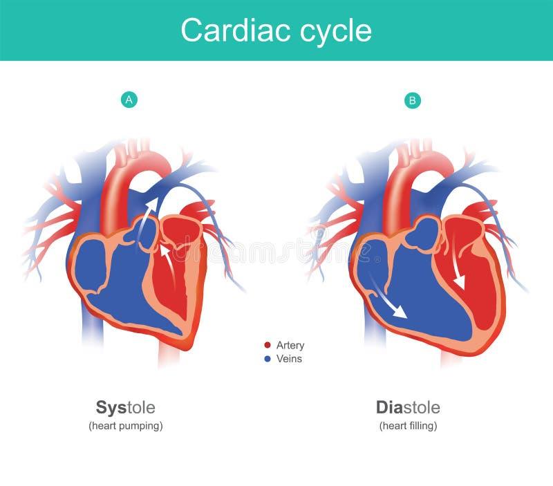 Ciclo cardiaco infographic El corazón es el órgano del b humano stock de ilustración