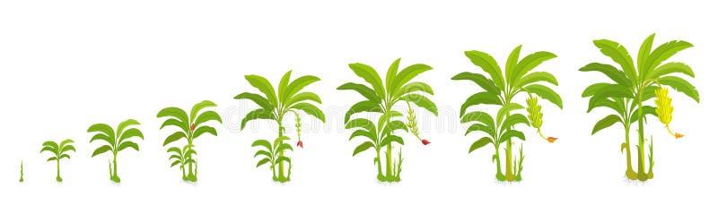Ciclo colturale per il banano Palma delle banane delle fasi del raccolto Piante crescenti dell'illustrazione di vettore Biologia  illustrazione vettoriale