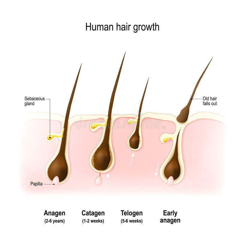 Ciclo de crecimiento del pelo stock de ilustración