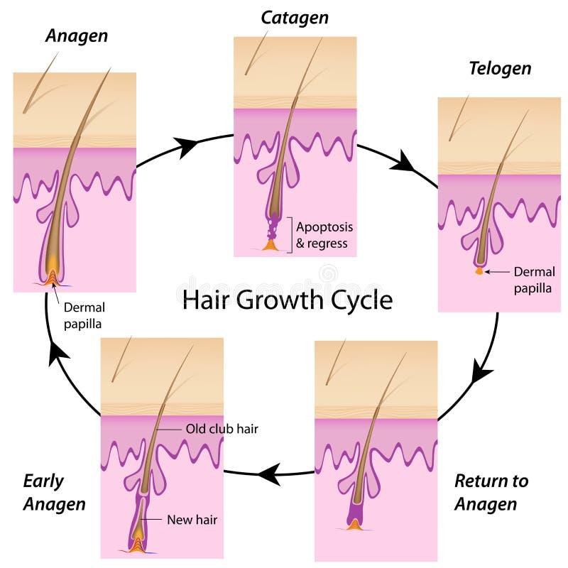 Ciclo de crescimento do cabelo ilustração do vetor